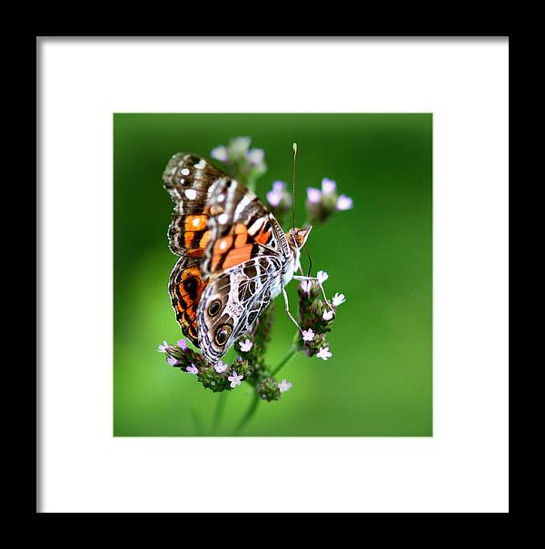 Butterfly Framed Print featuring the photograph 1074- Butterfly by Travis Truelove