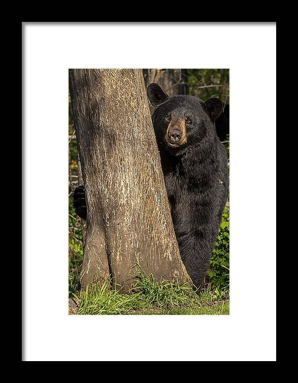 Bears Framed Print featuring the photograph Black Bear  by Mary Jo Cox