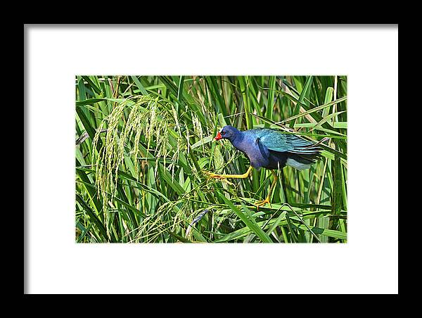 Bird Framed Print featuring the photograph Purple Gallinule by Lindy Pollard
