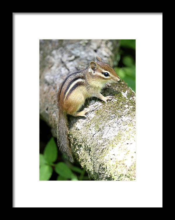 Chipmunk Framed Print featuring the photograph Chipmunk by Ken Keener