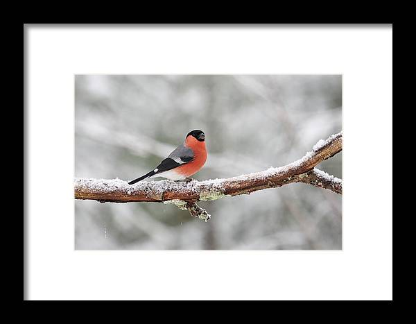 Finland Framed Print featuring the photograph Eurasian Bullfinch In Winter by Jouko Lehto