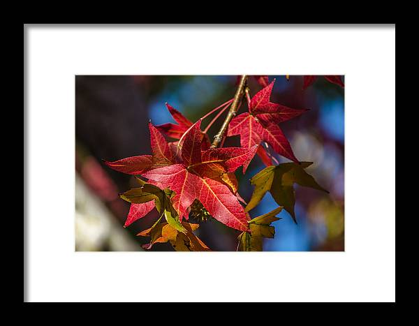 Fall Framed Print featuring the photograph Fall Foliage by Asif Islam
