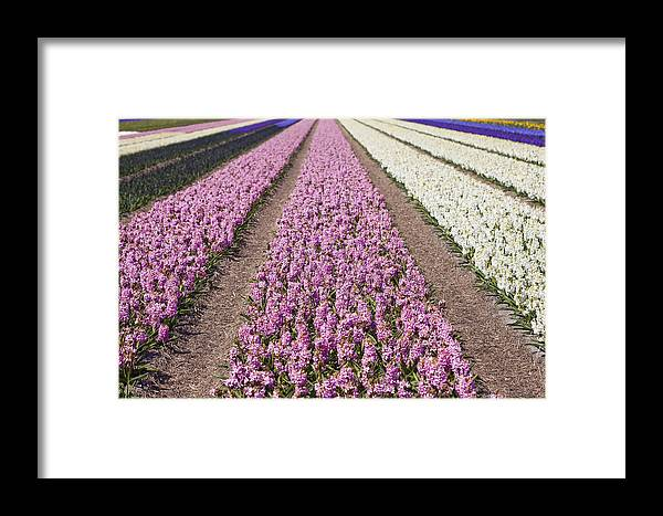 Agriculture Framed Print featuring the photograph Hyacinths Fields by Andre Goncalves