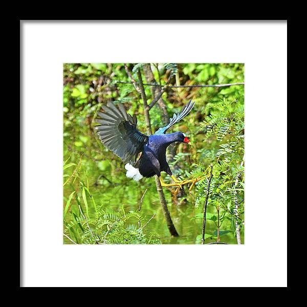 Bird Framed Print featuring the photograph Purple Gallinule by Lindy Pollard