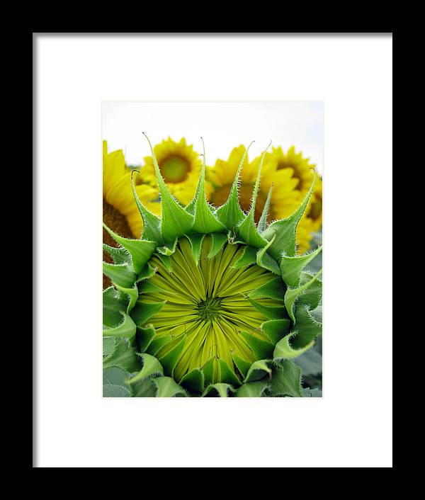 Sunflwoers Framed Print featuring the photograph Sunflower Series by Amanda Barcon