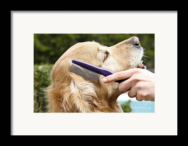 Golden Retriever Framed Print featuring the photograph Dog Grooming by Photo Researchers Inc