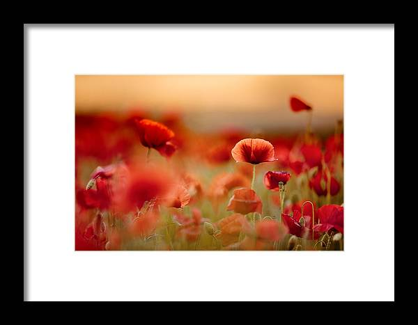 Poppy Framed Print featuring the photograph Poppy Dream by Nailia Schwarz