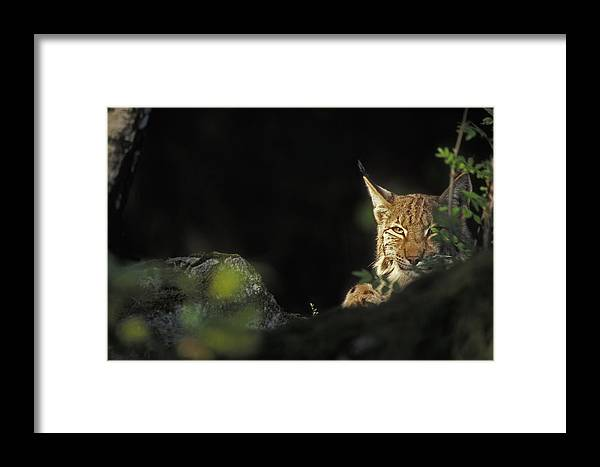 Eurasian Lynx Framed Print featuring the photograph 151001p105 by Arterra Picture Library