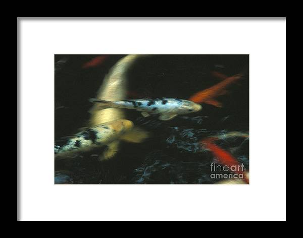 Koi Framed Print featuring the photograph The Koi Pond by Marc Bittan