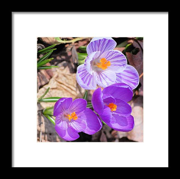 Digital Photography Framed Print featuring the photograph 1st Flower In Garden 2010 Photo by David Lane