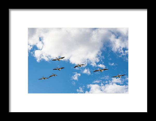 Alberta Framed Print featuring the photograph American White Pelican by Brandon Smith