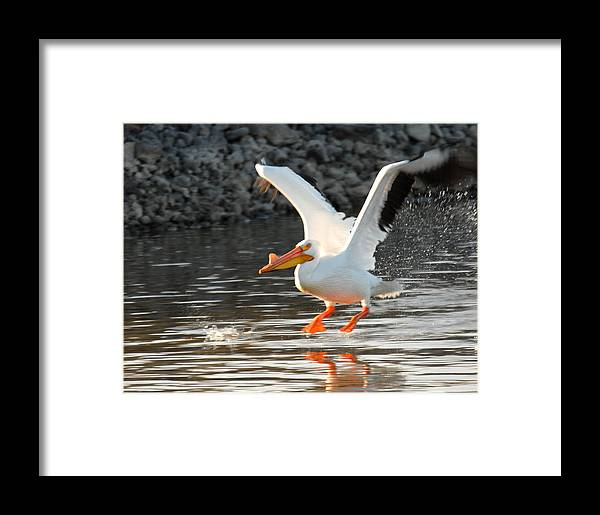 Bird Framed Print featuring the photograph American White Pelican by Dennis Hammer
