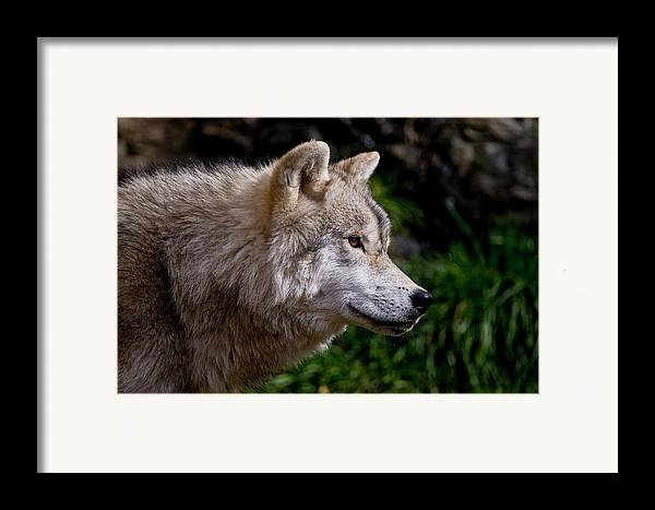 Michael Cummings Framed Print featuring the photograph Arctic Wolf Portrait by Michael Cummings