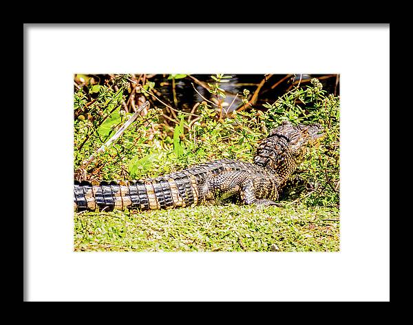 Reptile Framed Print featuring the photograph Baby Alligator by Gregory Gendusa