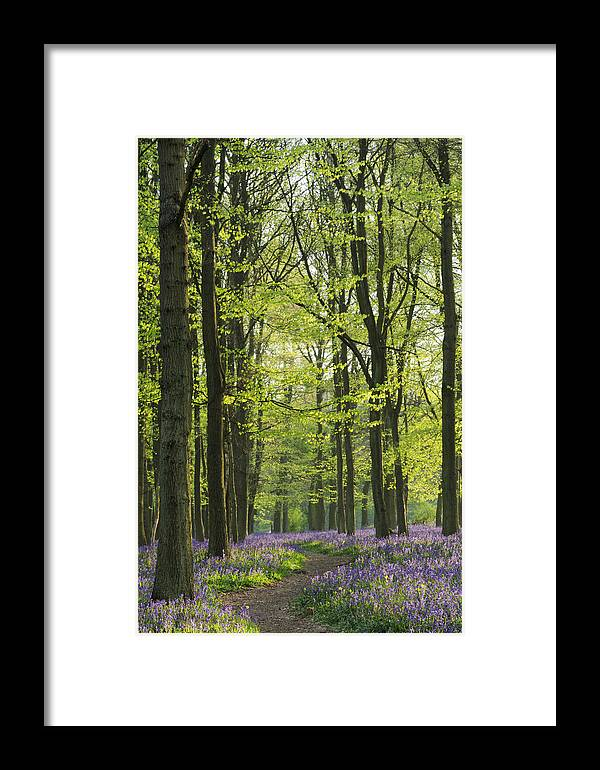 Bluebell Framed Print featuring the photograph Bluebell Wood by Liz Pinchen