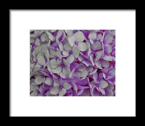 Hydrangea Framed Print featuring the photograph Cotton Candy by JAMART Photography