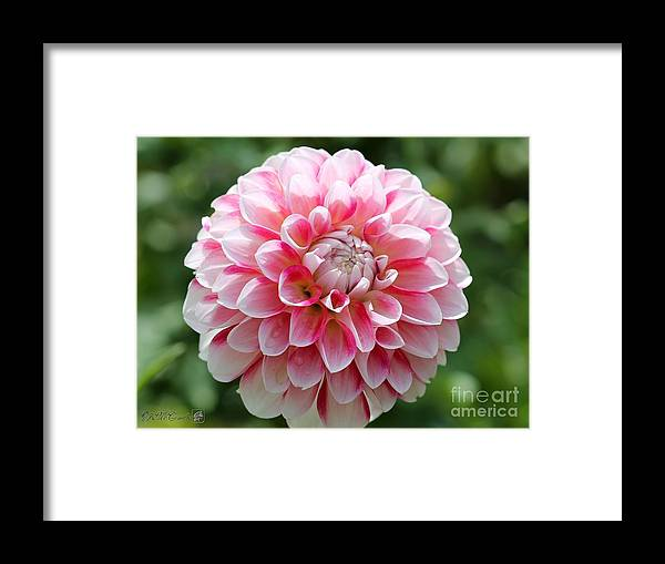 Mccombie Framed Print featuring the photograph Dahlia Named Hawaii by J McCombie
