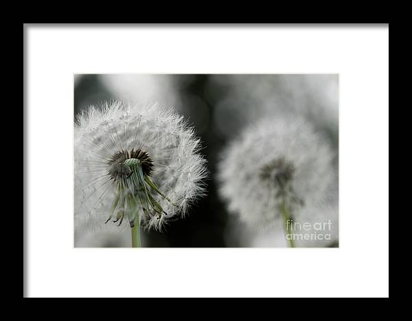 Dandelion Framed Print featuring the photograph Dandelion Close-up by Michelle Himes
