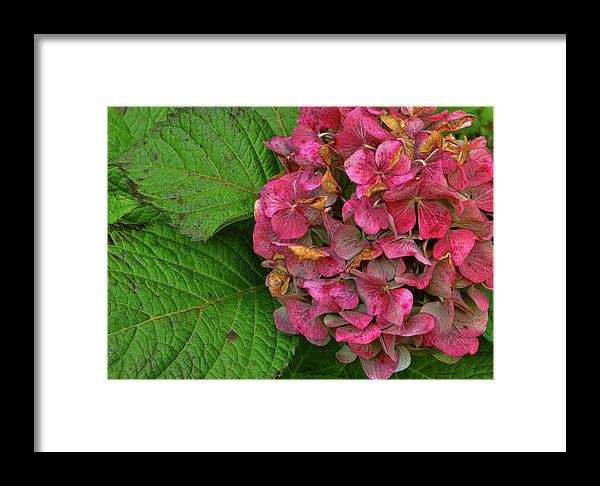 Hydrangea Framed Print featuring the photograph Endless Summer by JAMART Photography