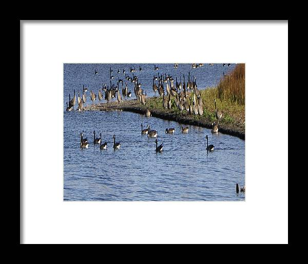 Geese Framed Print featuring the photograph Geese On The Water by Luana Juknies