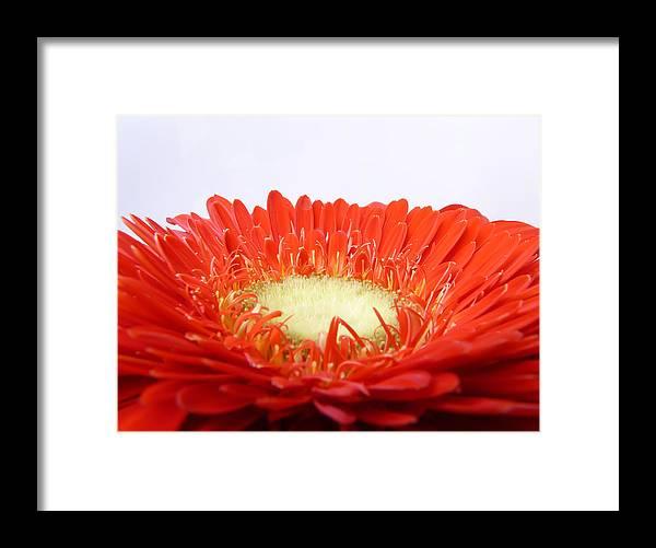 Gerbera Framed Print featuring the photograph Gerbera by Daniel Csoka