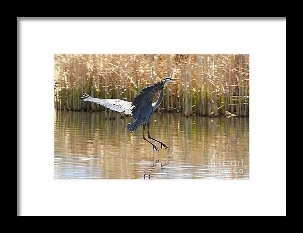 Bird Framed Print featuring the photograph Great Blue Heron by Dennis Hammer