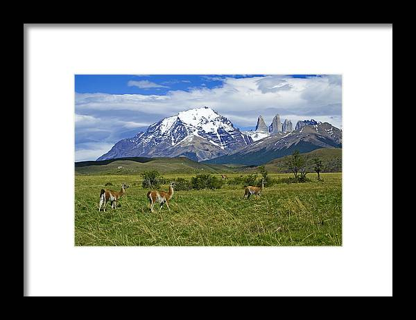 Patagonia Framed Print featuring the photograph Guanacos in Torres del Paine by Michele Burgess