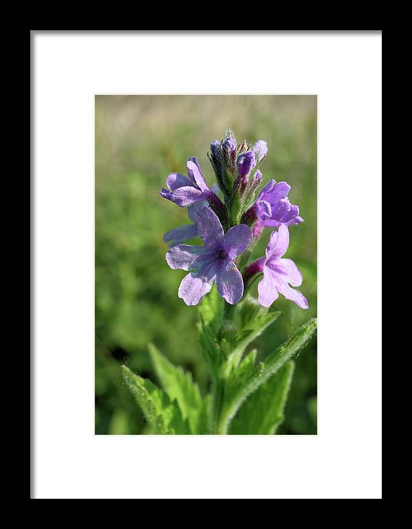 Flower Framed Print featuring the photograph Hoary Vervain by Scott Kingery