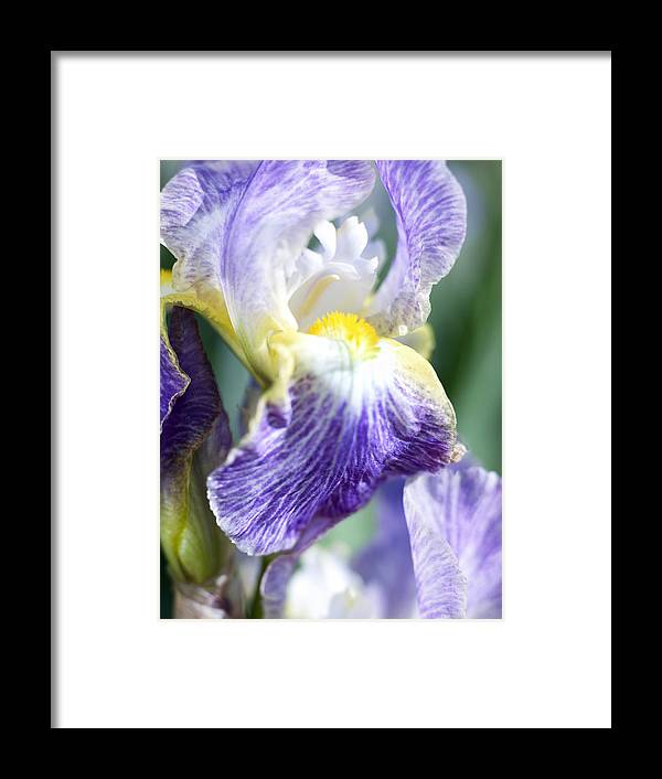 Genus Iris Framed Print featuring the photograph Iris Flowers by Tony Cordoza