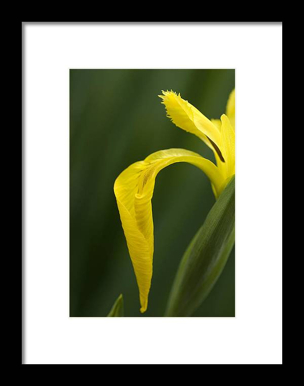 Iris Framed Print featuring the photograph Iris by Jessica Wakefield