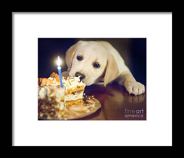 Labrador Framed Print featuring the photograph Labrador by Romeo Lombardi