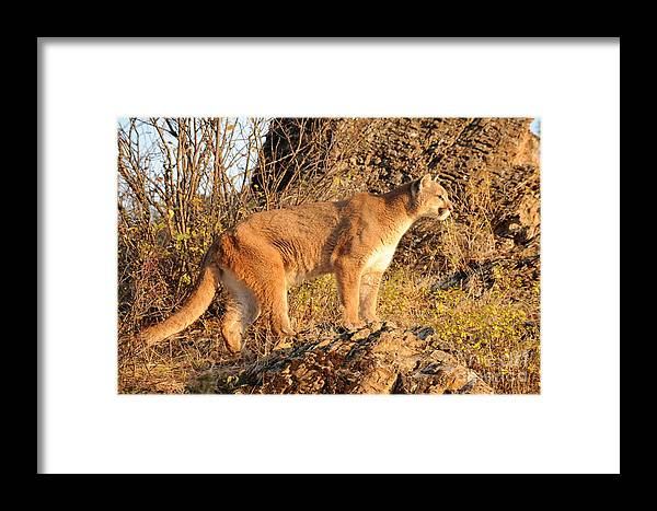 Mountain Lion Framed Print featuring the photograph Mountain Lion by Dennis Hammer