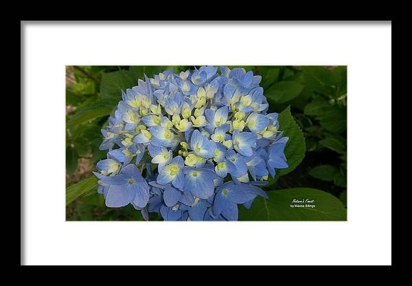 Hydrangeas Framed Print featuring the photograph My Blue Hydrangeas by Maxine Billings