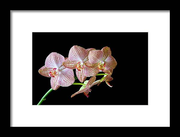 Orchids Framed Print featuring the photograph Orchid Phalaenopsis Flower by Michalakis Ppalis