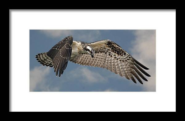 Osprey Framed Print featuring the photograph Osprey Flight by Larry Linton