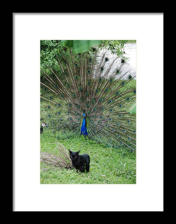 Animals Framed Print featuring the photograph 2 Peacocks And A Black Pussy Cat by Rob Hans