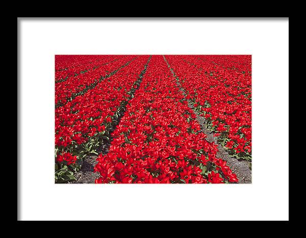 Agriculture Framed Print featuring the photograph Red Tulip Fields by Andre Goncalves
