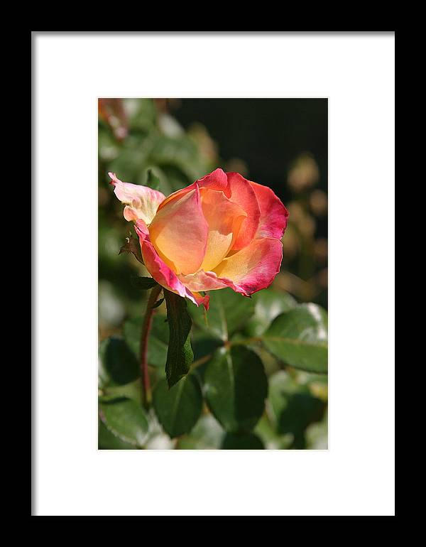 Rose Framed Print featuring the photograph Rose by Donald Tusa