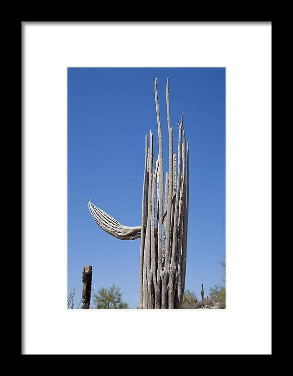 Saguaro Skeleton Framed Print featuring the photograph Saguaro Skeleton by Kelley King