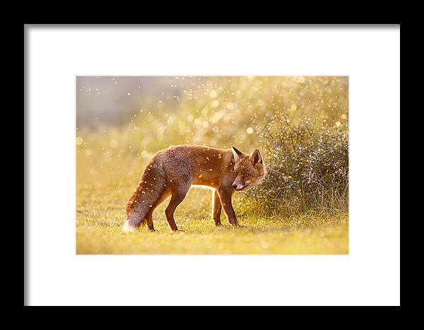 Red Fox Framed Print featuring the photograph The Fox And The Fairy Dust by Roeselien Raimond