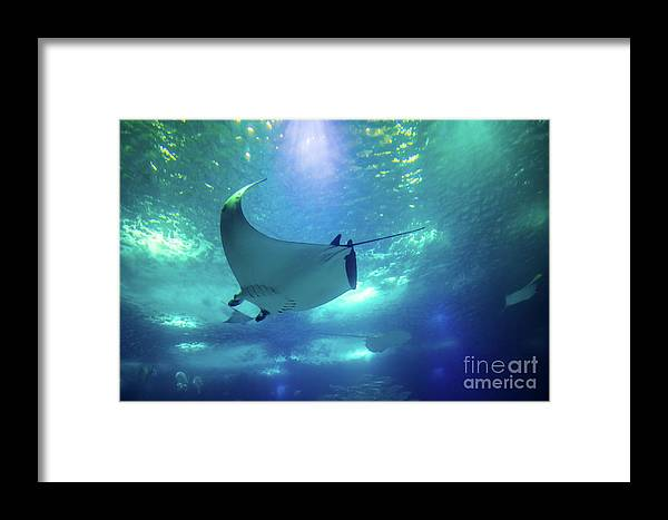 Manta Ray Framed Print featuring the photograph Underwater Manta Ray by Benny Marty