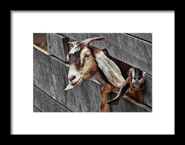 Goat Framed Print featuring the photograph What's Going On? by JAMART Photography
