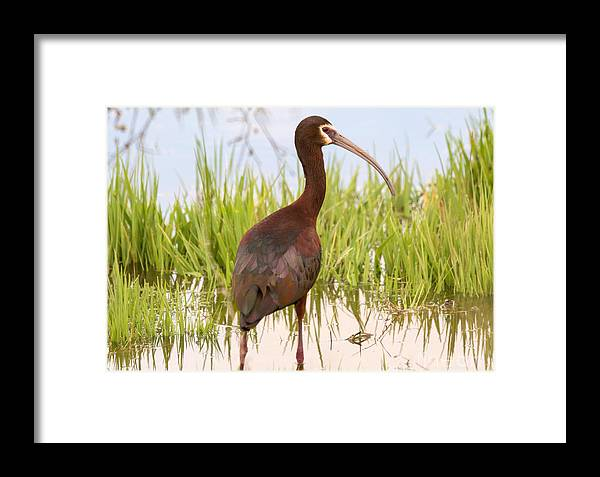 Bird Framed Print featuring the photograph White Faced Ibis by Dennis Hammer