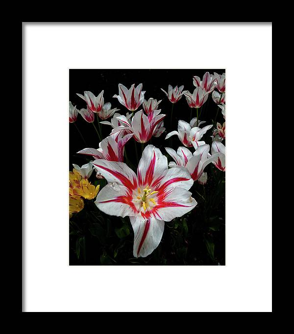 Nature Framed Print featuring the photograph Tulips by Robert Ullmann
