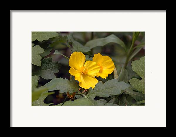 Yellow Framed Print featuring the photograph Untitled by Kathy Schumann