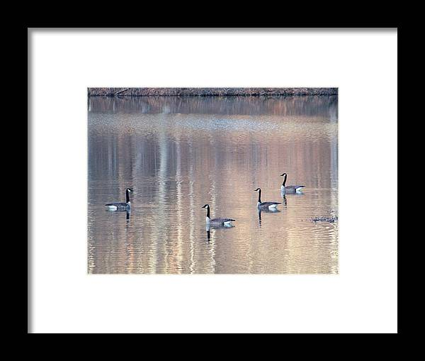 Canadian Geese Framed Print featuring the photograph 2003-geese by Martha Abell
