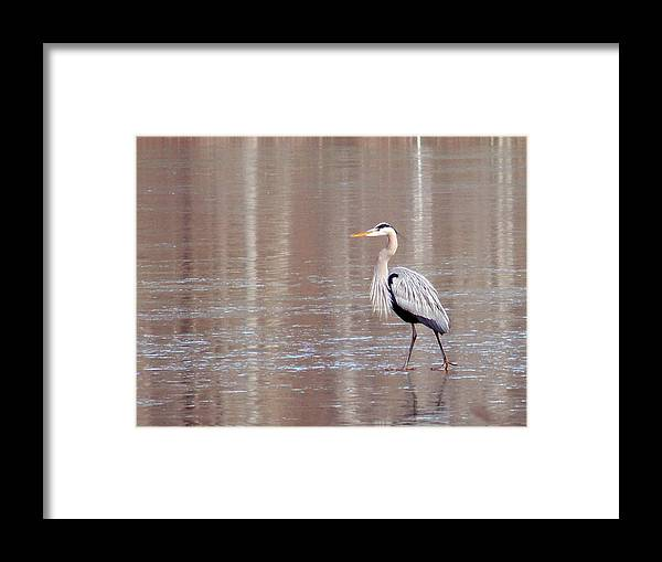 Birds Framed Print featuring the photograph 2007-heron On Ice Feb 2011 by Martha Abell