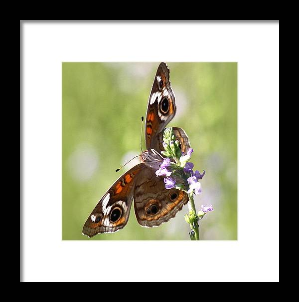 Butterfly Framed Print featuring the photograph 2065 - Butterfly by Travis Truelove