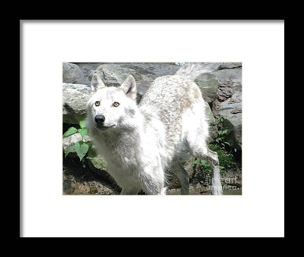 Wolf Jumping Off The Rock In The Water Framed Print featuring the photograph The Wild Wolve Group A by Debra   Vatalaro