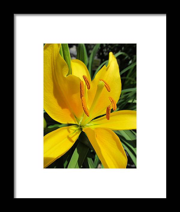 Flowers Framed Print featuring the photograph Yellow Lily by Michele Caporaso